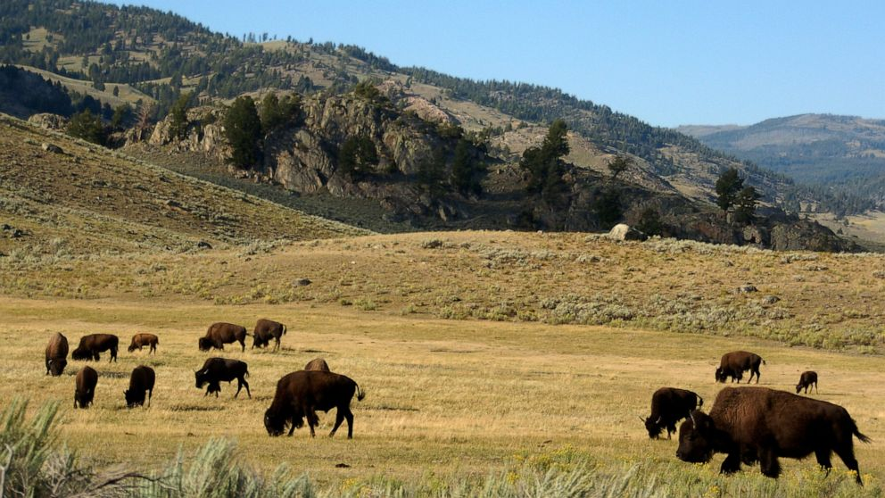 Yellowstone begins bison captures as it seeks to cull herd
