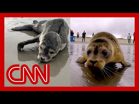She found seal in trouble. Watch their emotional goodbye.