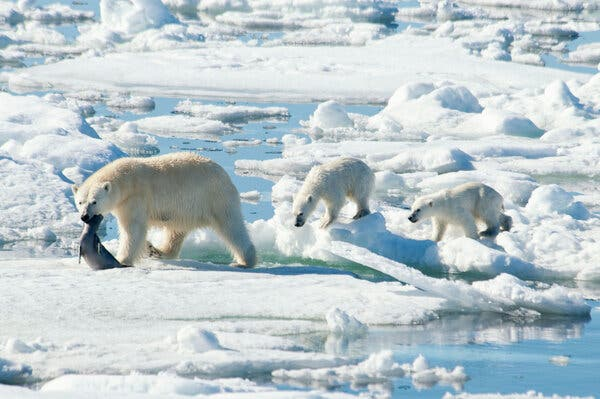 Global Warming Is Driving Polar Bears Toward Extinction, Researchers Say