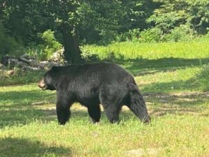 Black bear there: In Illinois? Next? What? When? Where? Taking care the next time? There will be next time.