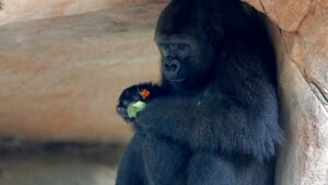 Endangered gorilla in New Orleans expecting 1st baby
