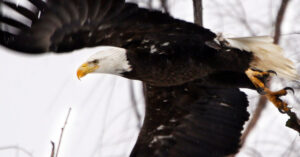 Bald Eagle Sends Government Drone Into Lake Michigan