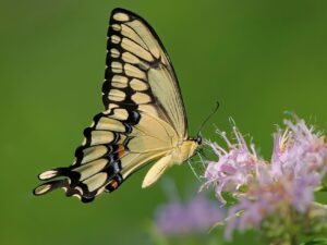 Chicago outdoors: Giant swallowtail, families and charters, new boat sales, and yellow jackets