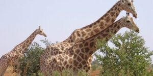 Six French tourists, two others, killed in ambush at African giraffe reserve