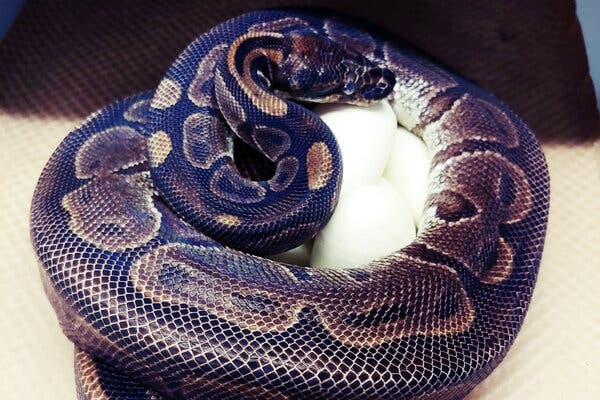 Ancient Python Lays Eggs, Apparently Without Male Help
