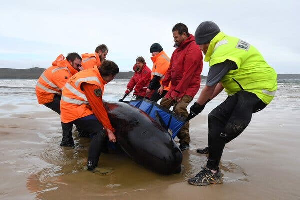 Rescue Effort Is Underway After Hundreds of Whales Beach Themselves Off Tasmania