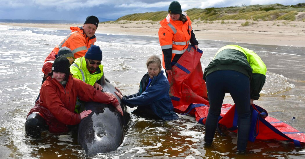 Tasmania Whale Rescue Ends With 108 Saved and Over 300 Dead