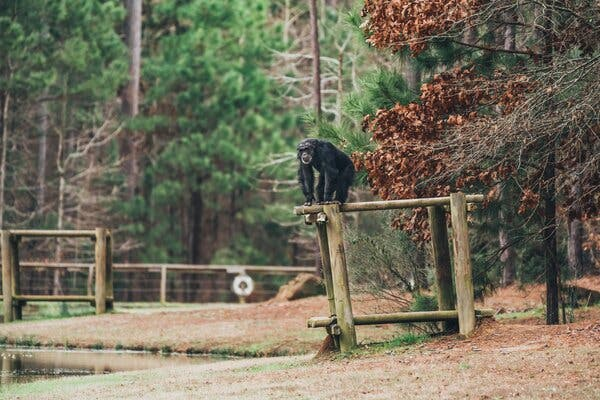 Aging and Ailing Lab Chimps Are Still at Center of Fight for Sanctuary