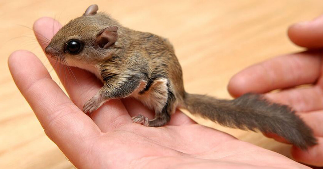 Seven Charged in Flying Squirrel Trafficking Ring, Florida Officials Say