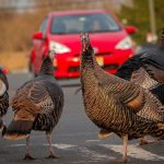 Thanksgiving in Denver, from free frozen birds to $200 turducken