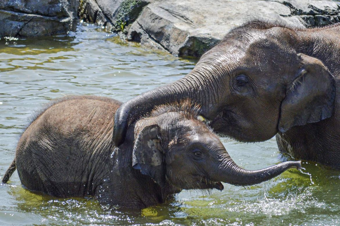 Second young elephant dies from virus at New York zoo
