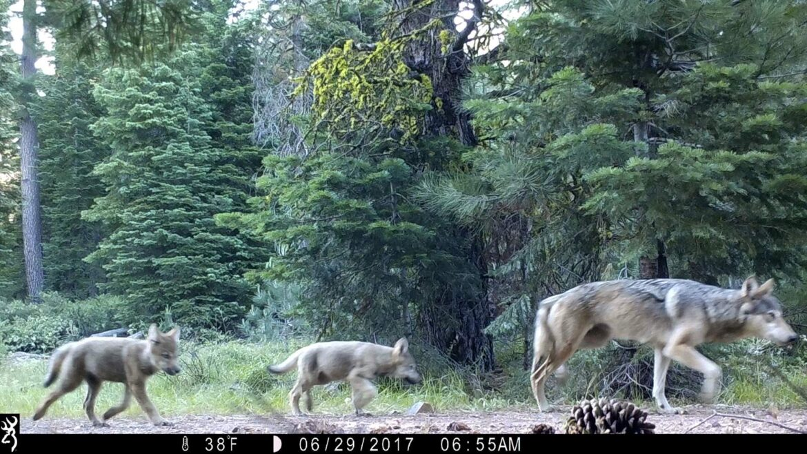 Groups ask court to restore protections for US gray wolves