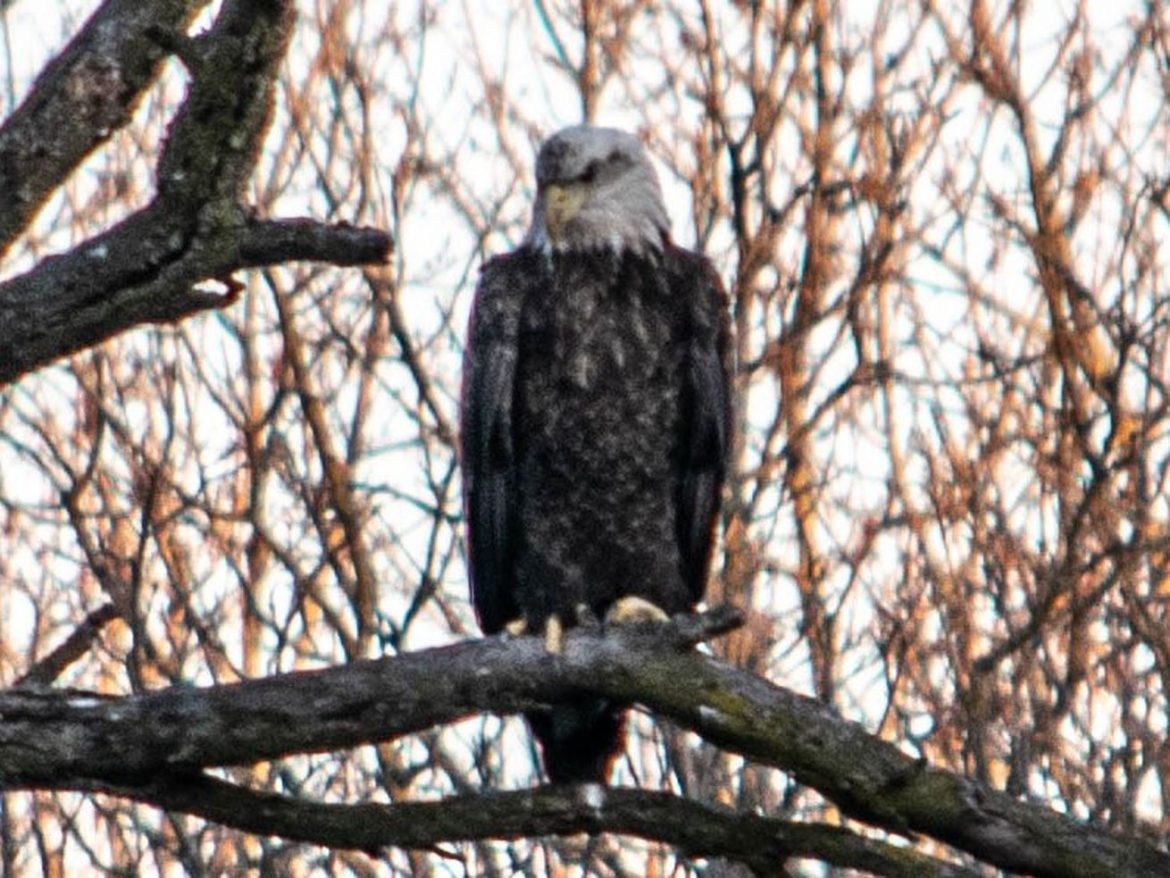 Chicago outdoors: Conservation projects, suburban bald eagle, memorable pheasant hunt, burbot