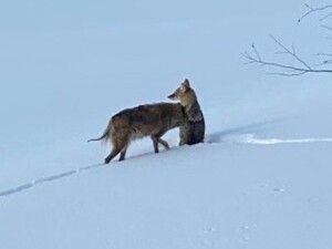 Chicago outdoors: Coyote thoughts, more FOID card foibles, Great Backyard Bird Count, Outside sale