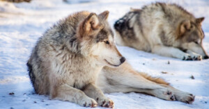 Wisconsin Hunters Kill Over 200 Wolves in Less Than 3 Days
