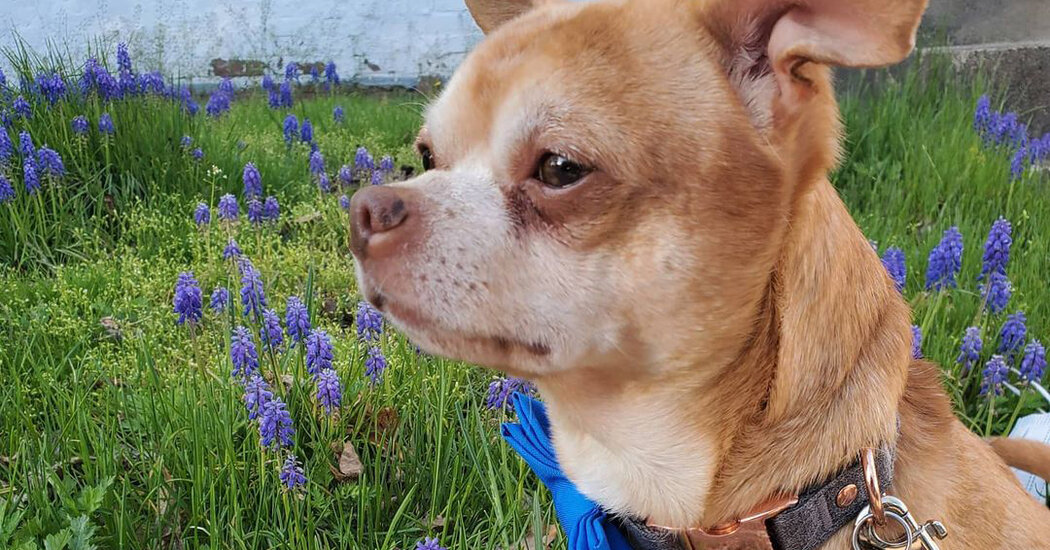 Prancer, the 'Demonic Chihuahua,' Finds a Home