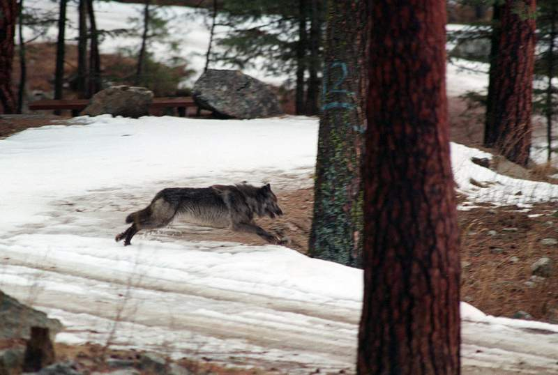 Bill to kill up to 90% of Idaho wolves heads to governor
