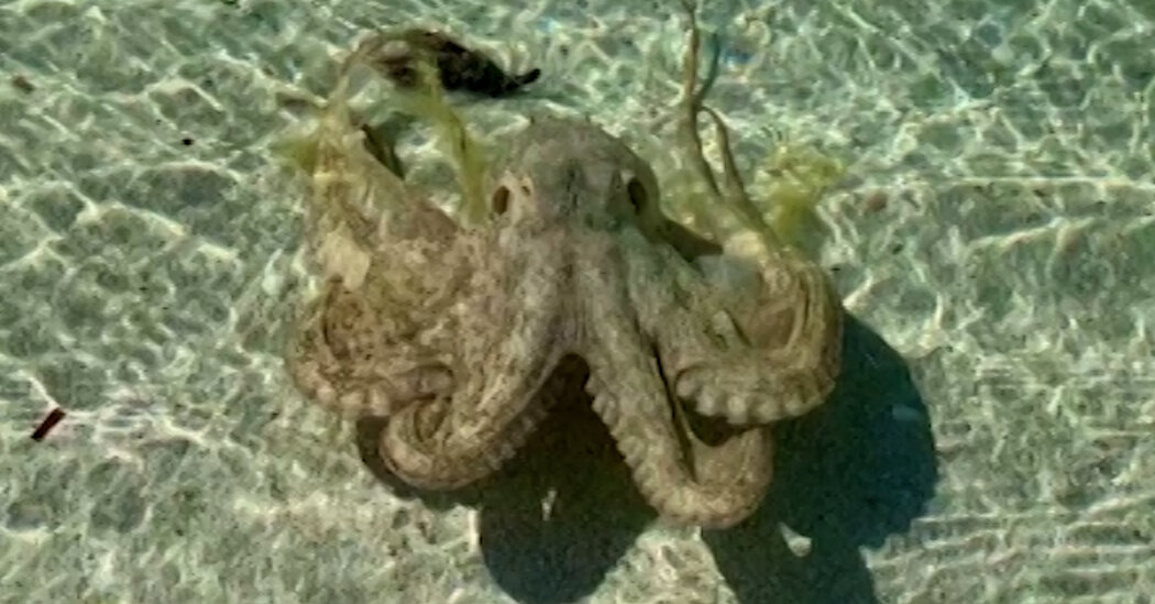 'The Angriest Octopus' Lashes at a Tourist on an Australian Beach