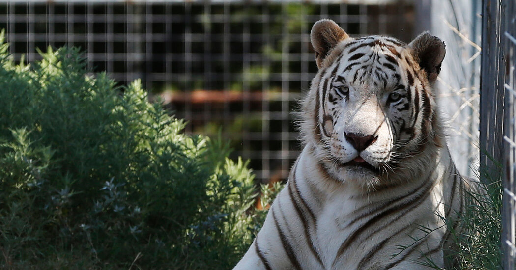 69 Big Cats Are Seized From Jeffrey Lowe, a Figure in 'Tiger King'
