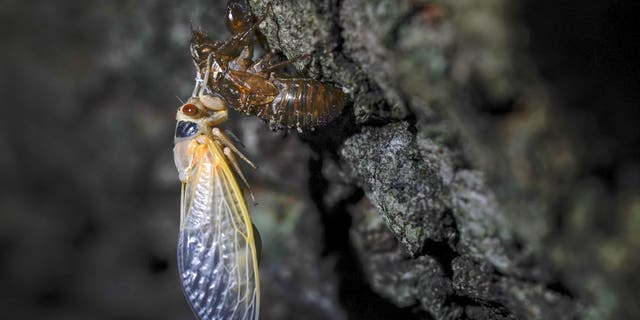Sen. Portman snags a cicada on Capitol lawn in TV interview as swarms emerge