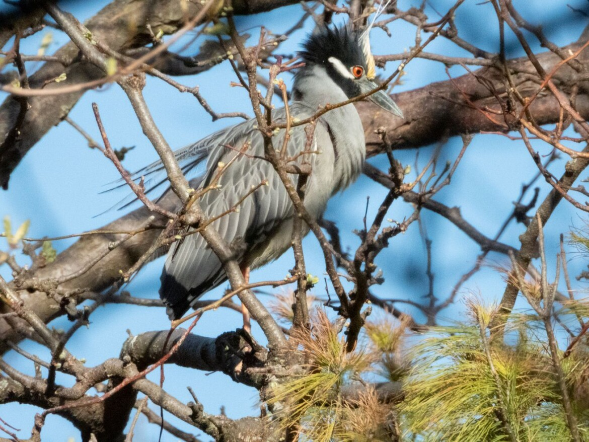 Chicago outdoors: Yellow-crowned night heron, eagle tale of meaing, immediate-release, Wisconsin opener