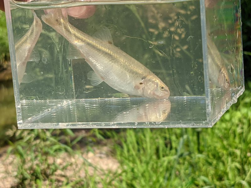 A creek chub in a well, one way to better photograph fish during microfishing. Credit: Dale Bowman