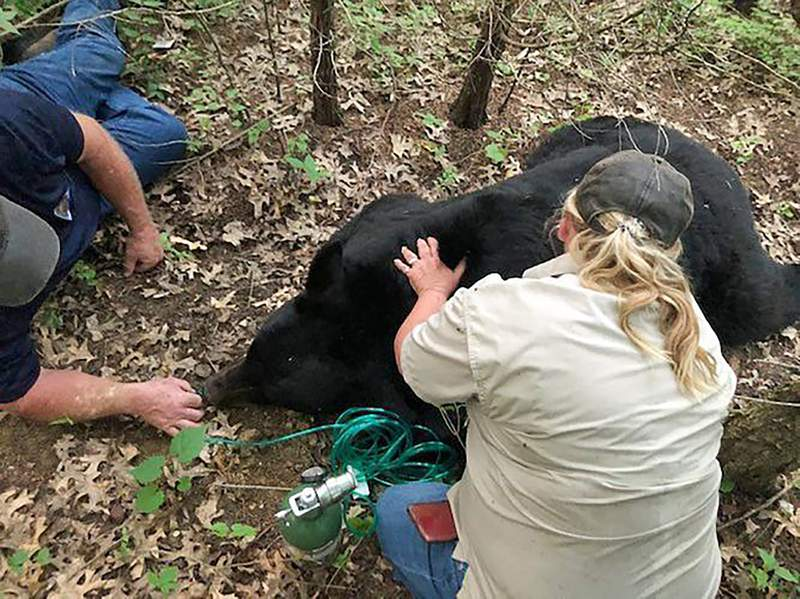 Bear that rambled over several US states dies in Louisiana
