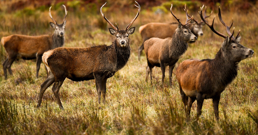 U.K. Deer Cull Is Discussed as Solution to Exploding Herds