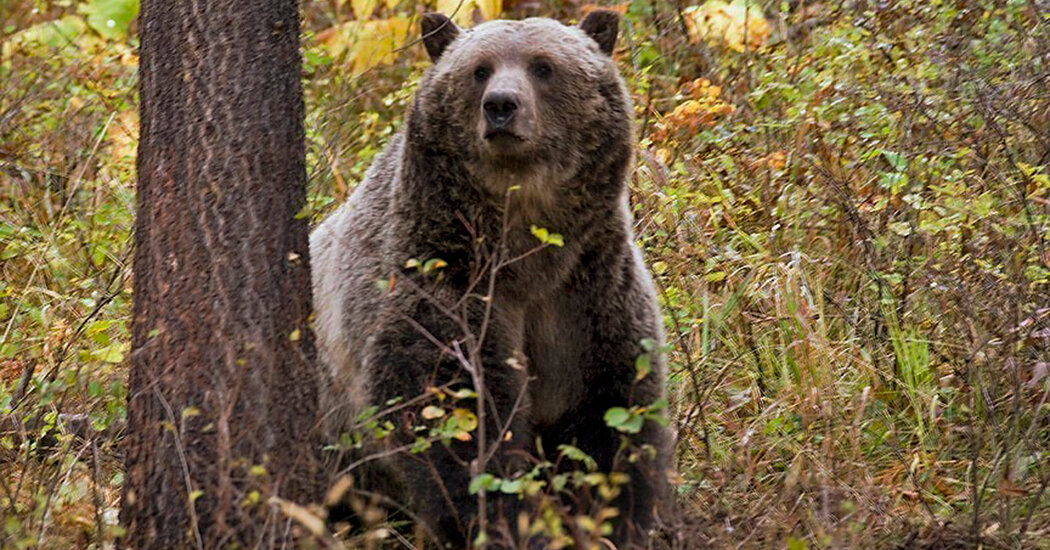 Woman Is Killed in Montana Bear Attack