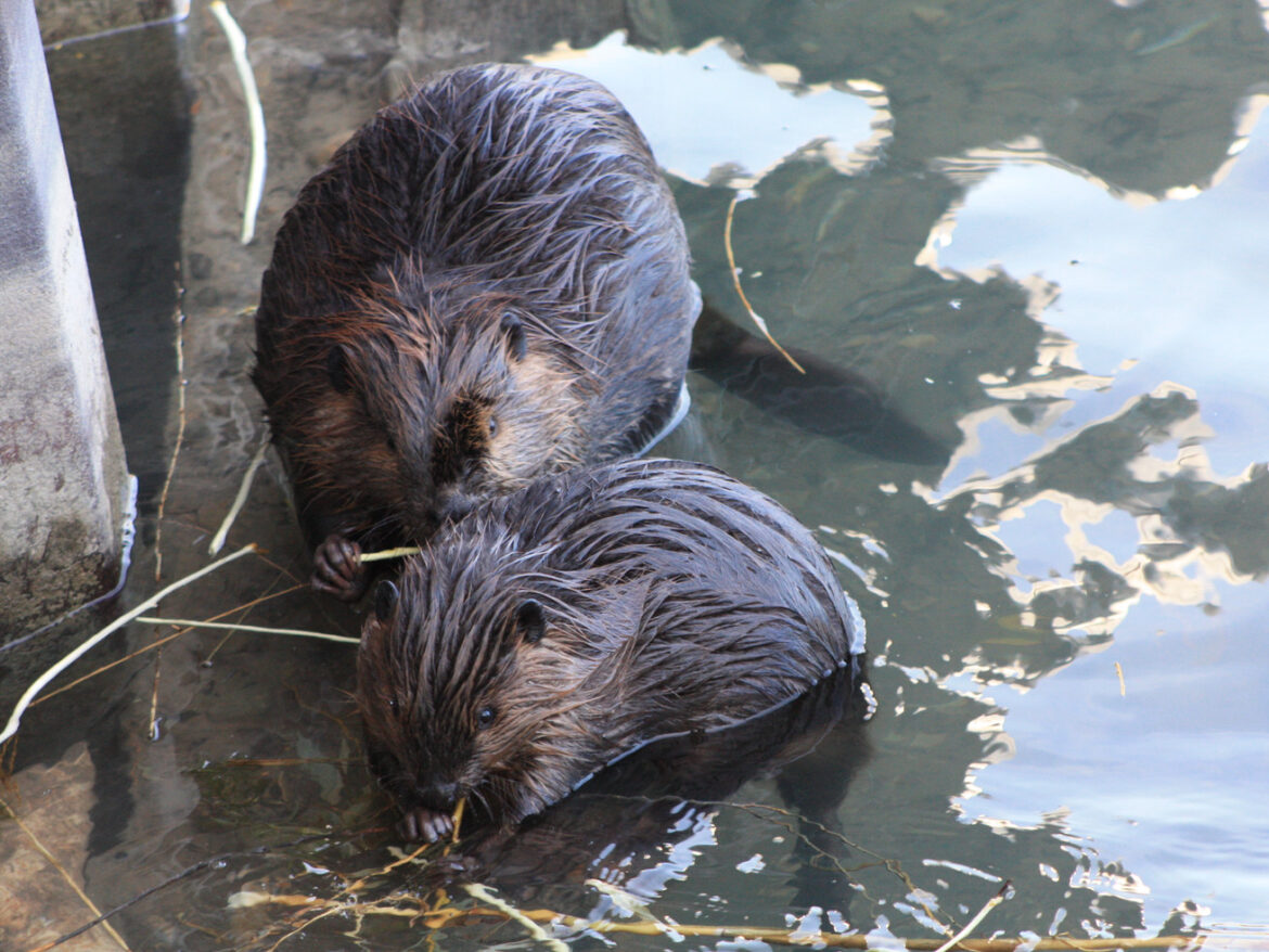 Mystery surrounds the deaths of three beavers on Northwestern University campus