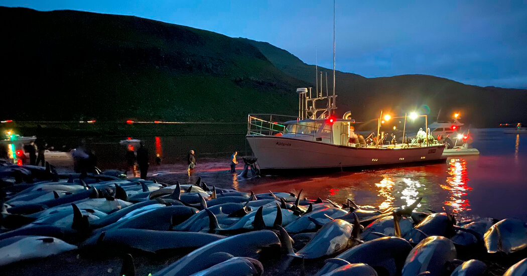 1,400 Dolphins Were Killed in Faroe Islands. Even Hunting Supporters Were Upset.