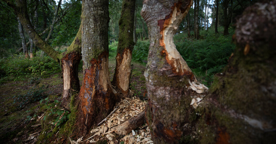 Beavers Re-Emerge in Scotland, Drawing Ire of Farmers