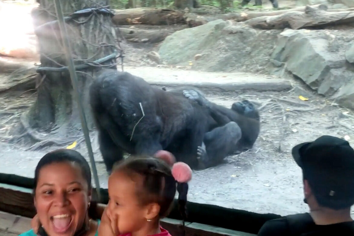 Gorillas shock onlookers with oral sex show at Bronx Zoo in hilarious video