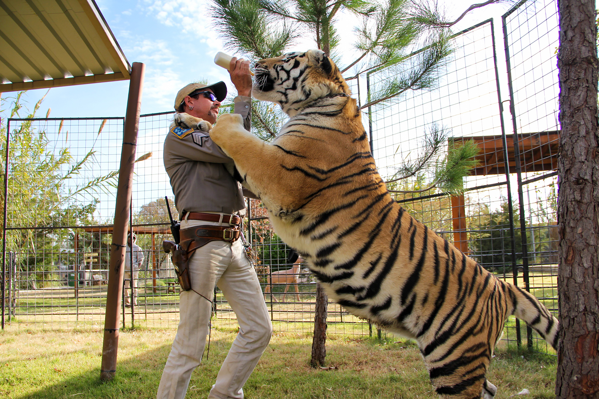 A man standing in an enclosure holds up a milk bottle while a large tiger stands on its back legs drinking it, with its front paws resting on the man's shoulders.