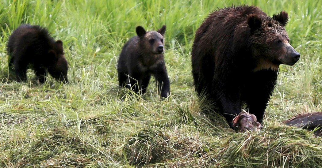Woman Jailed for Close Encounter With Grizzly and Cubs at Yellowstone